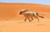 Saharan kettu