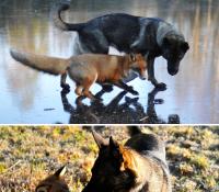 Koiran ja ketun ystävyys