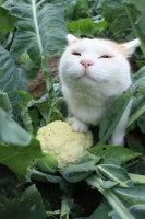 """""""Hyvä tuoksu, mutta kokeilkaapa keitettyä kukkakaalia!&"""