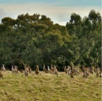 Kenguru sukulaisineen ja ystävineen