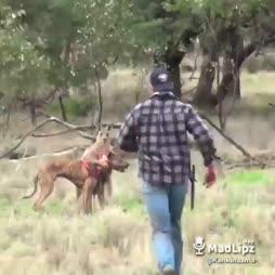 Kengu kiusaa koiraa