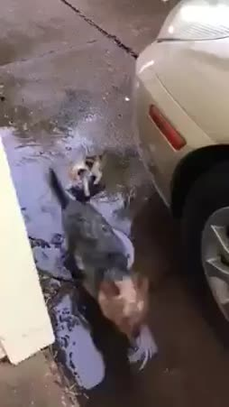 koira tuo kulkukissen :3