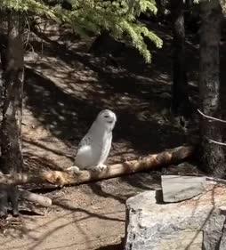 Persu pöllö